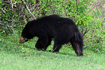 A sloth bear wanders around Yala National Park