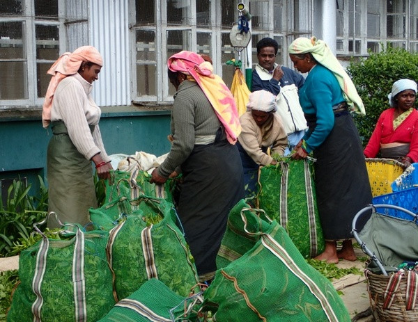 Unloading and weighing the plucked tea leaves