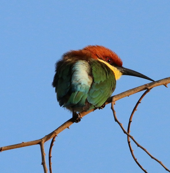 Chestnut Headed Bee-eater
