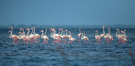 Flamingoes in Jaffna