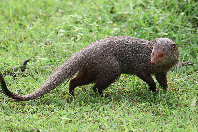 Ruddy mongoose are found in Yala National Park