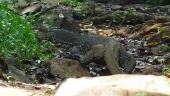 Asian-Water-Monitor-or-Common-Water-Monitor.jpg
