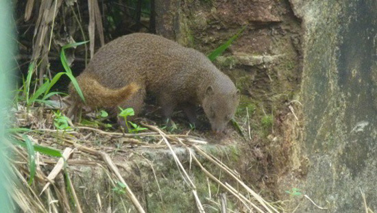 Indian-Brown-Mongoose.jpg
