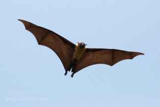 Indian-Flying-Fox.jpg