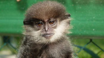 Purple-faced-Leaf-Monkey.jpg