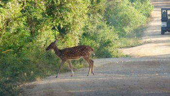 Sri-Lanka-Axis-Deer---Ceylon-Spotted-Deer.jpg