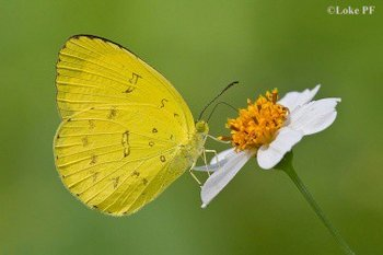Three-spot-Grass-Yellow.jpg