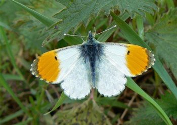 White-Orange-Tip.jpg