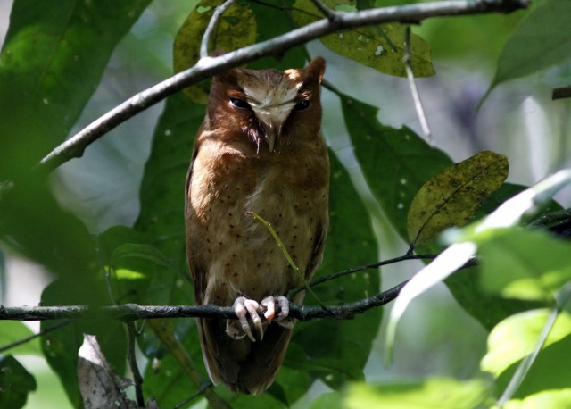 Adult Serendib Scops Owl