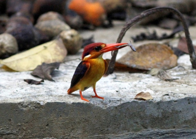 Asian Dwarf Kingfisher