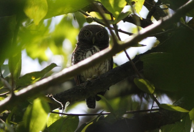 Chestnut-backed Owlet (E)