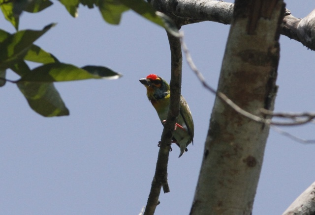 Crimson-fronted Barbet (E)