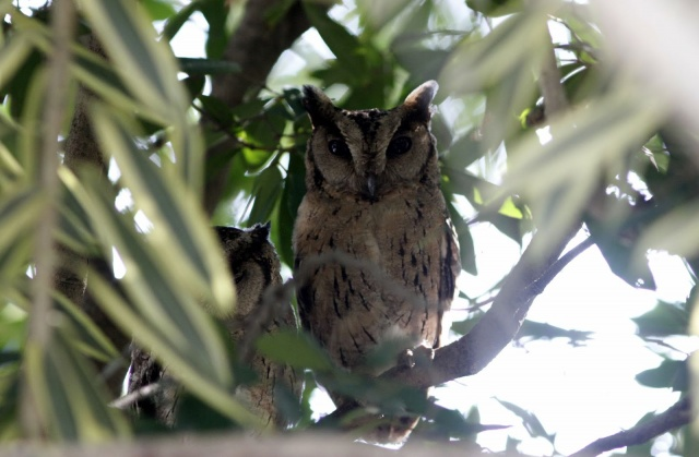 Indian Scops Owls