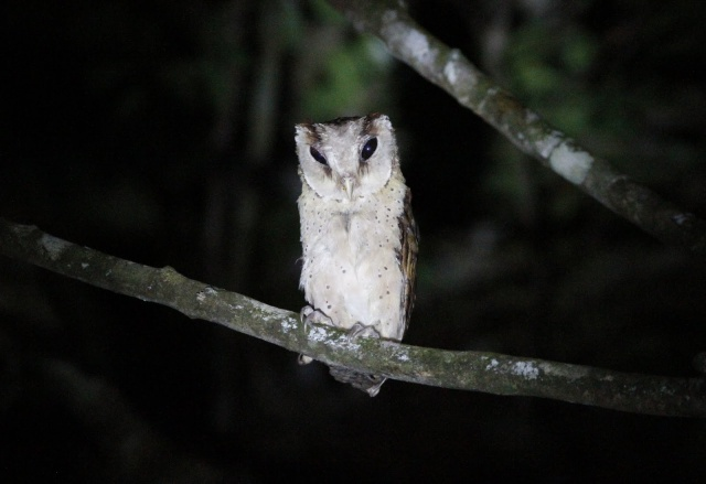 Sri Lanka Bay Owl - my favourite world lifer