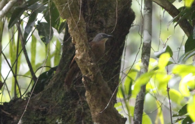 Ashy-headed Laughingthrush!!!