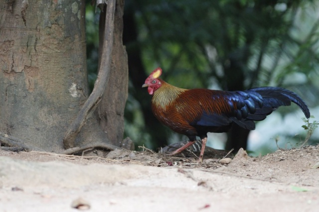 Sri Lanka Jungle Fowl